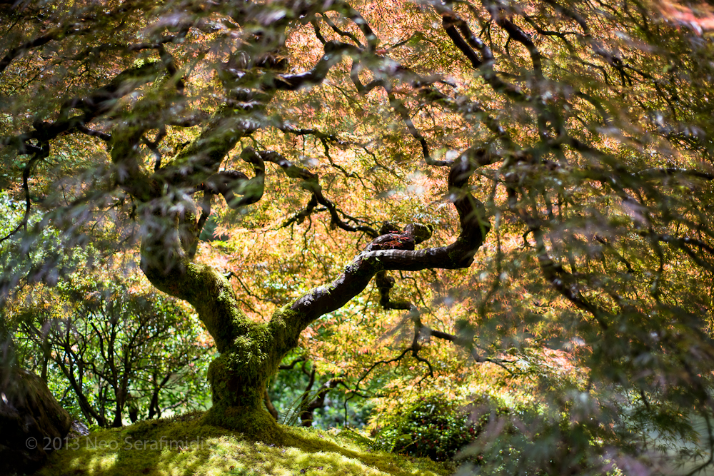 Japanese Maple Dream #3